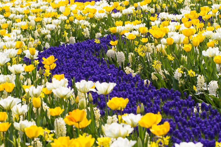 Tulipany, hiacynty i narcyzy nad niebieską rzeką z szafirków.
