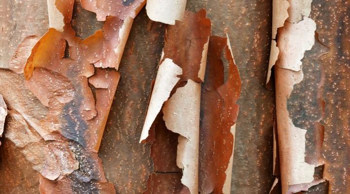 Klon strzępiastokory (Acer griseum)