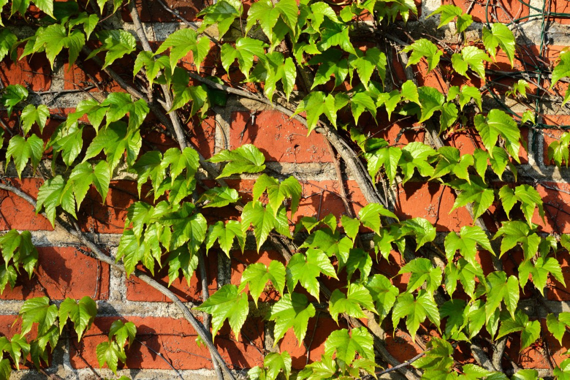 Winobluszcz trójklapowy (Parthenocissus tricuspidata)