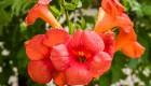 Wiciokrzew Heckrotta (Lonicera x heckrottii) 'American Beauty'