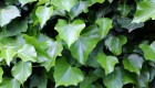 Bodziszek błotny (Geranium palustre)