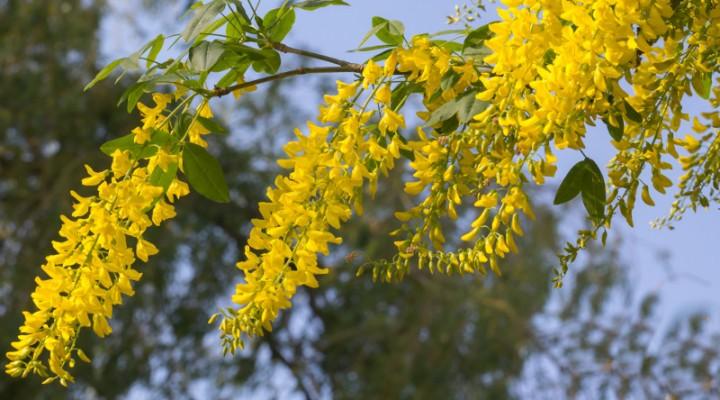 Złotokap pospolity (Laburnum anagyroides)