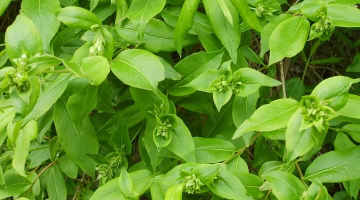 Abelia mosańska (Abelia mosanensis)