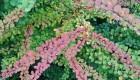 Berberys Thunberga (Berberis thunbergii) 'Aurea'