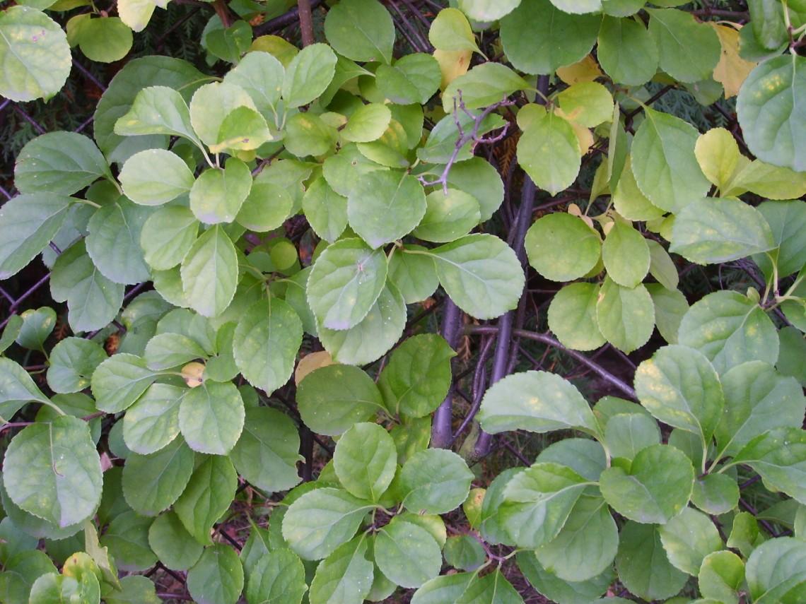 Dławisz okrągłolistny (Celastrus orbiculatus)