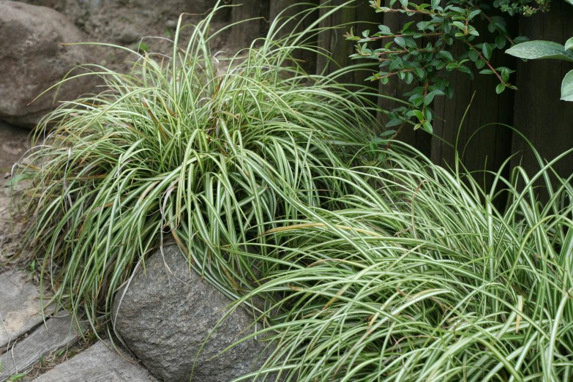 Turzyca ptasie łapki (Carex ornithopoda) 'Variegata'