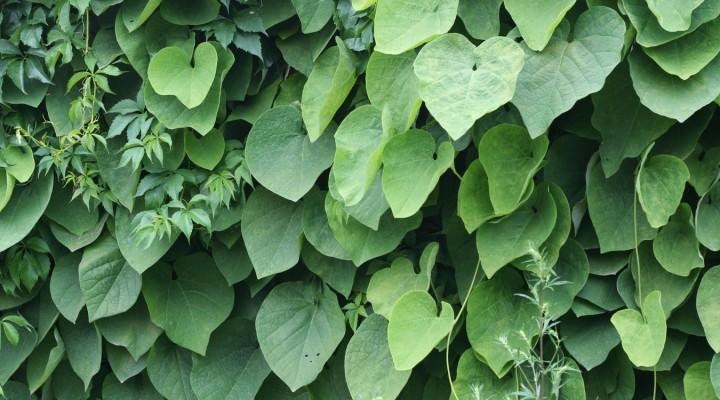 Kokornak wielkolistny (Aristolochia durior)