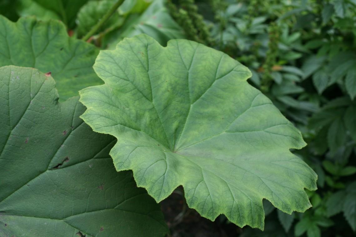 Astibloides azjatycki (Astibloides tabularis)