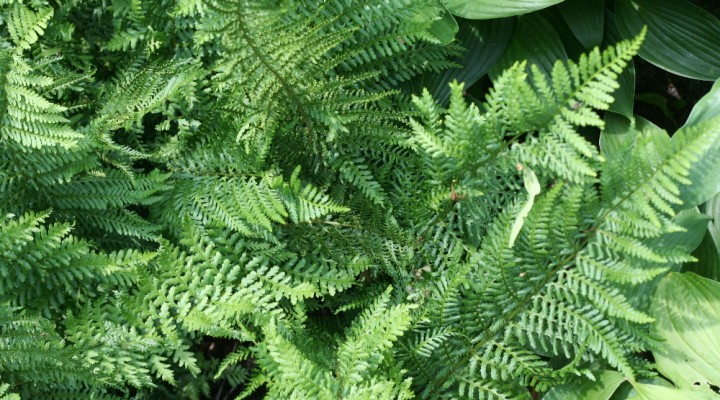 Orlica pospolita (Pteridium aquilinum)