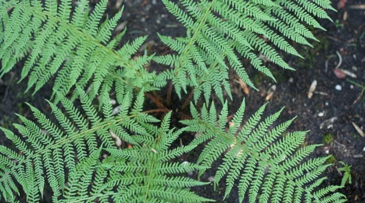 Wietlica samicza (Athyrium filix-femina)
