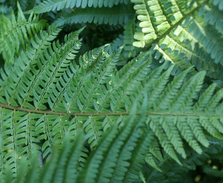 Paprotnik Brauna (Polystichum braunii)