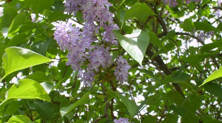 Bez lilak (Syringa vulgaris)
