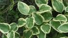 Bergenia sercolistna (Bergenia cordifolia)