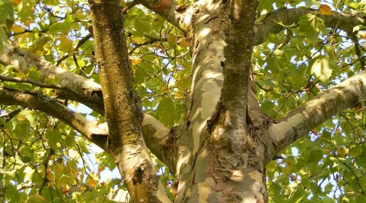 Platan klonolistny (Platanus acerifolia)
