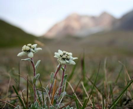 Szarotka alpejska