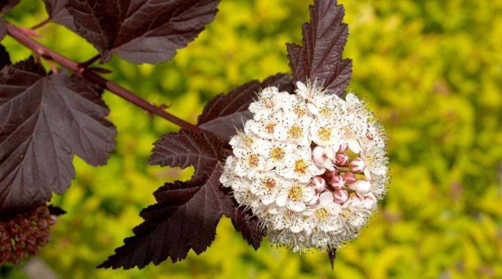 Pęcherznica kalinolistna (Physocarpus opulifolius) 'Diabolo'