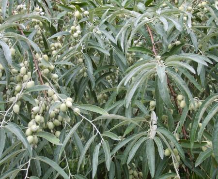 Oliwnik wąskolistny (Eleagnus angustifolia)