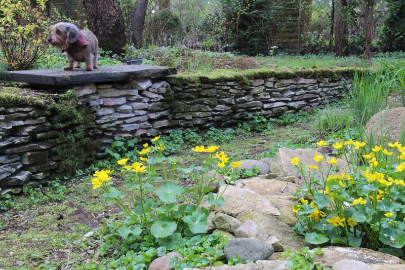Nad strumieniem wiosną kwitną kaczeńce.