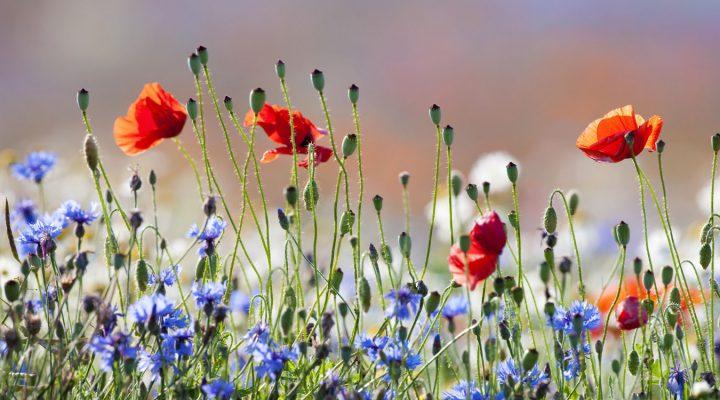 Quiz – dzikie polskie rośliny