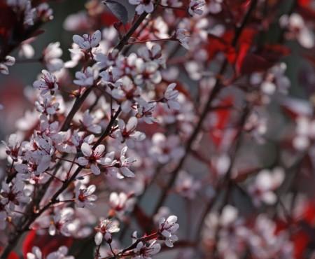 Śliwa dziecięca (Prunus xcistena)