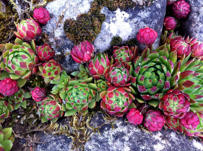 Rojnik (Sempervivum)