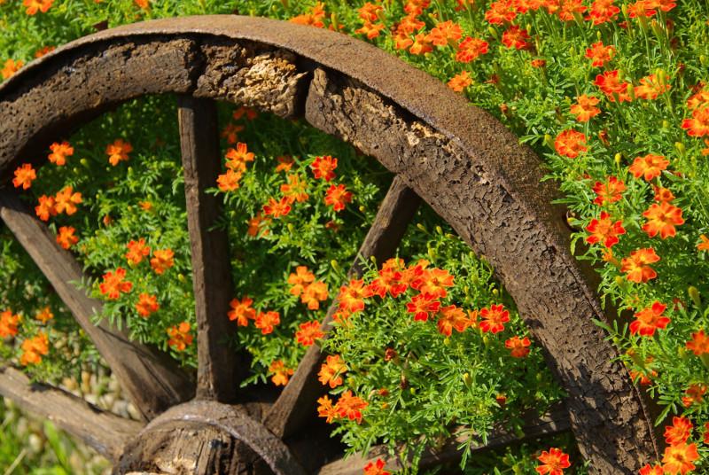 Stare koło w aksamitkach