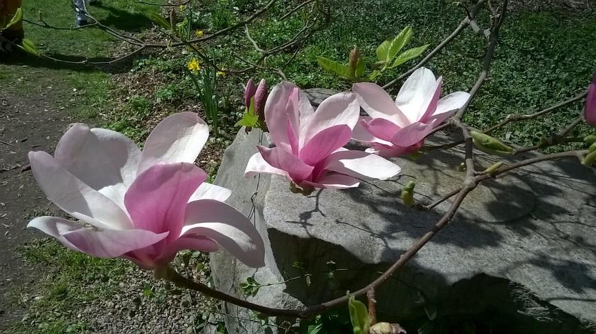 Magnolie zamiast tulipanów