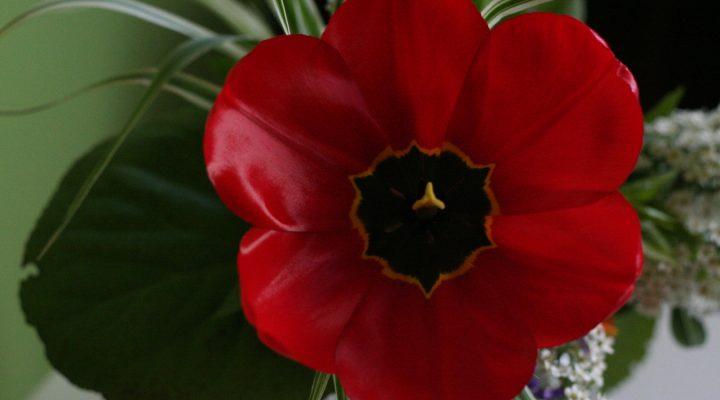Historia czerwonego tulipana