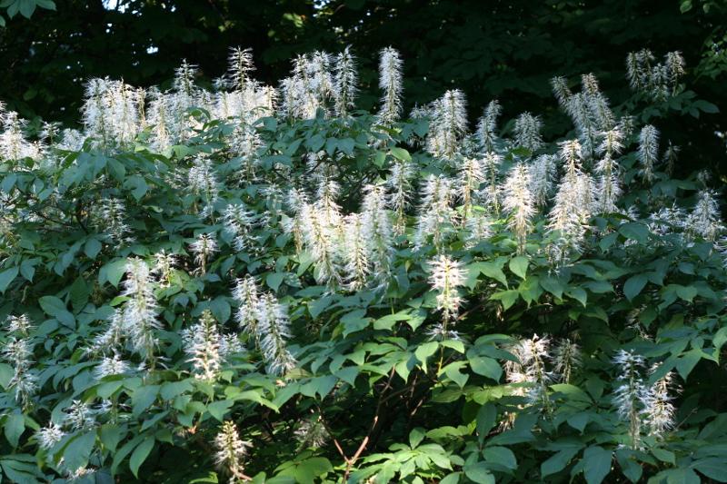 Kasztanowiec drobnokwiatowy – białe kwiatostany