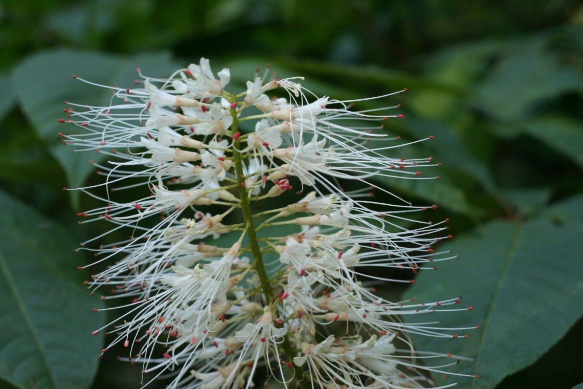Kasztanowiec drobnokwiatowy (Aesculus parviflora)