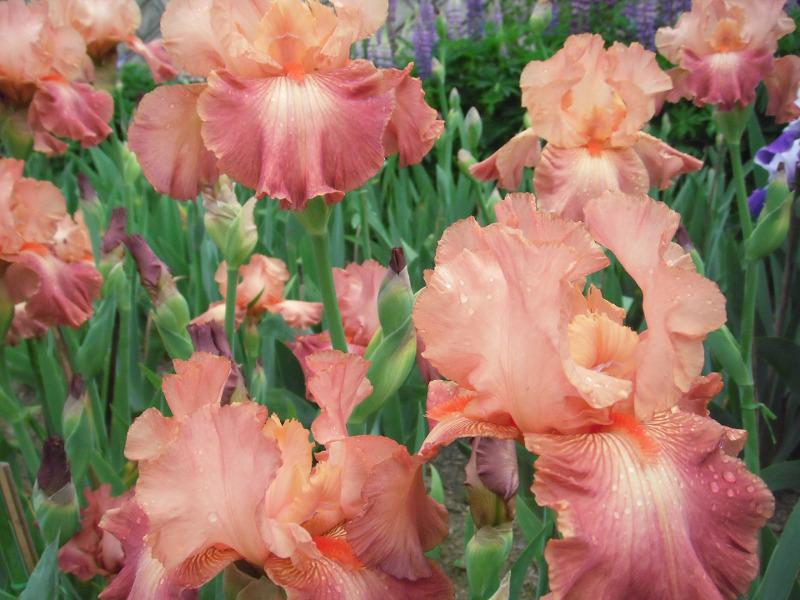 Kosaciec (Iris)