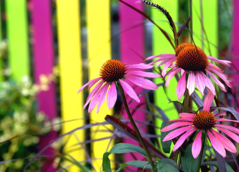 Idealnie dopasowane barwy do koloru kwiatów jeżówki purpurowej (Echinacea purpurea).