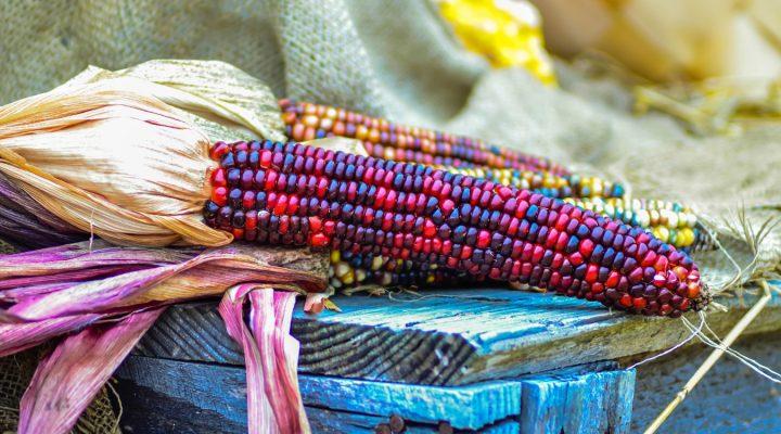 Indiańska kukurydza