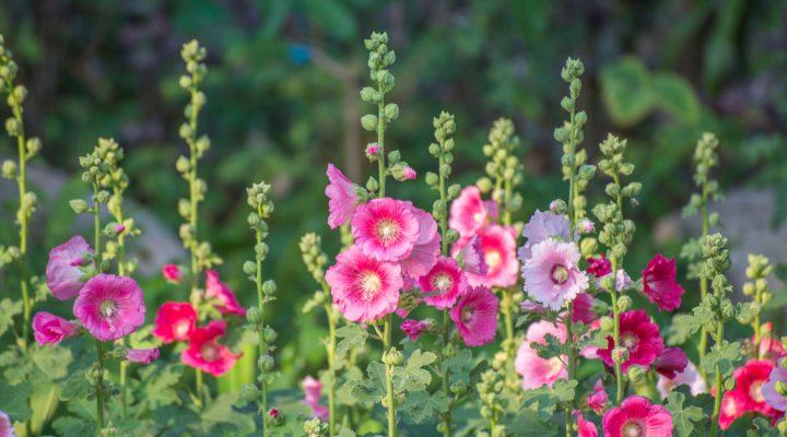 Malwa różowa (Alcea rosea)