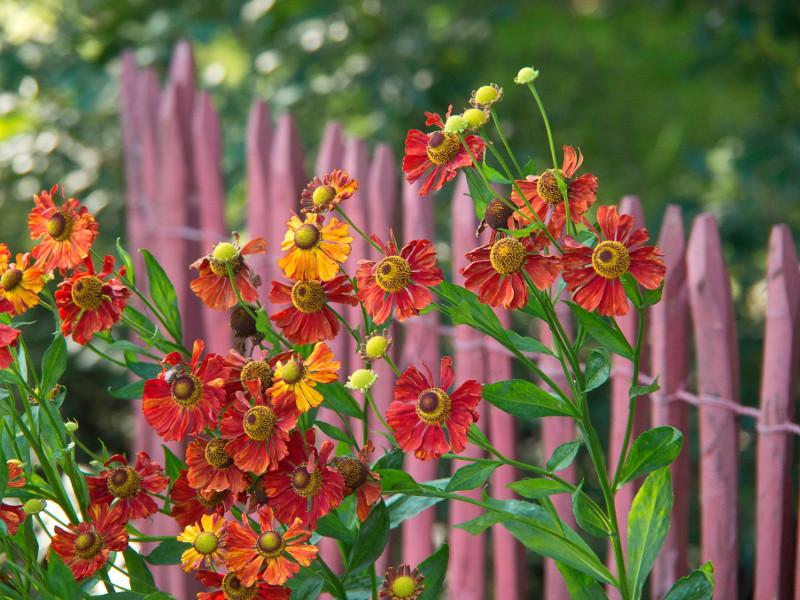 Pomarańczowo-czerwone kwiaty dzielżanu jesiennego (Helenium autumnale) na dyskretnym, liliowym tle.