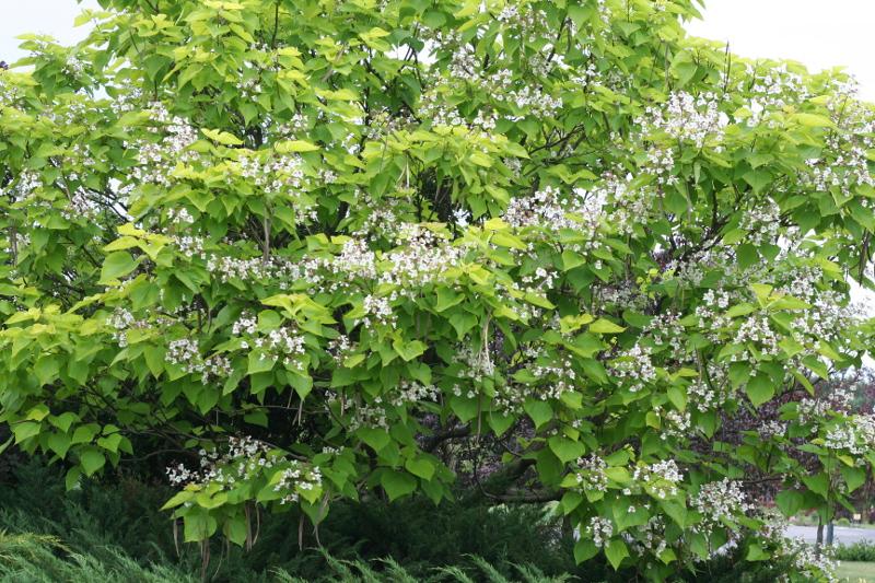 Surmia bignoniowa – kwitnące drzewo.