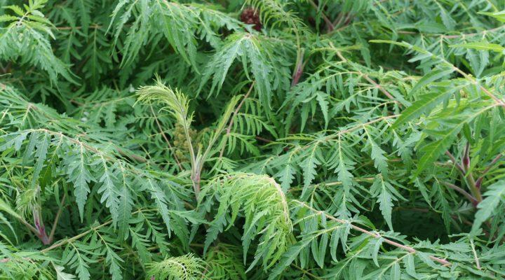 Sumak octowiec (Rhus typhina) 'Dissecta'