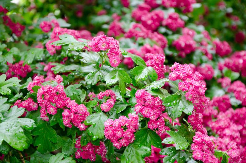 Różowe odmiany głogu dwuszyjkowego doskonale prezentują się na tle roślin o bordowym ulistnieniu.