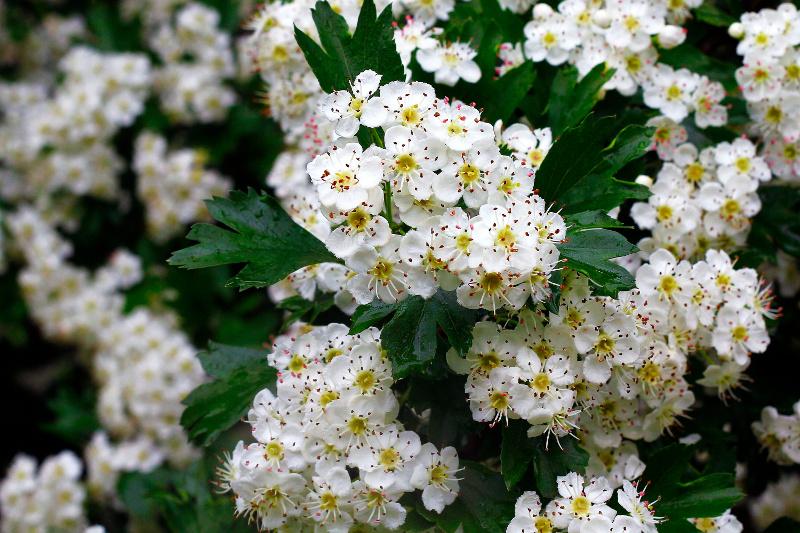 Głóg jednoszyjkowy (Crataegus monogyna) – kwiaty rozwijają się na przełomie maja i czerwca.
