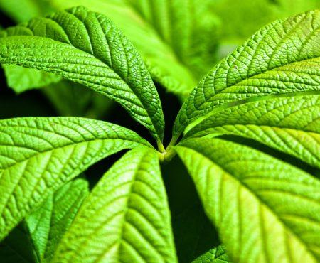 Rodgersja kasztanowcolistna (Rodgersia aescuifolia)