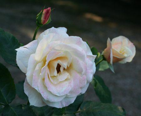 Róża (Rosa) 'Apricot Nectar'