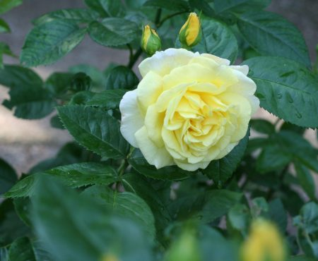 Róża (Rosa) 'Chinatown'