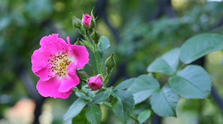 Róża (Rosa) 'American Pillar'
