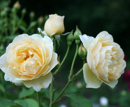 Róża (Rosa) GRAHAM THOMAS 'Ausmas'