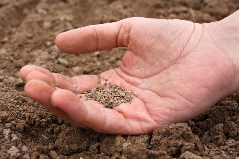 Wysiewanie nasion warzyw na jesienne zbiory.
