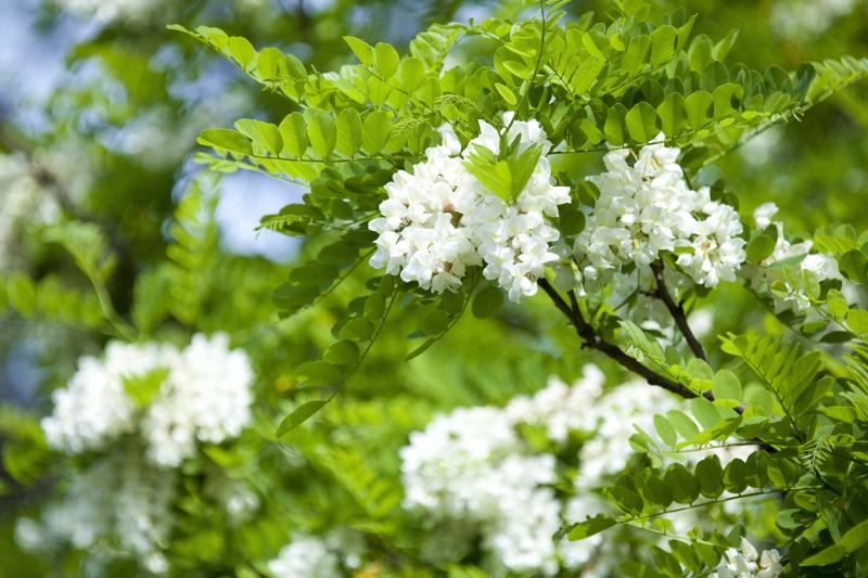 Robinia akacjowa – kwiaty.