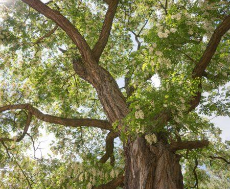 Robinia biała (Robinia pseudoacacia)