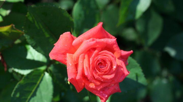Róża (Rosa) 'Prominent'