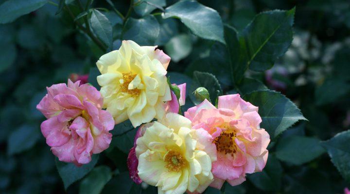 Róża (Rosa) 'Masquerade'