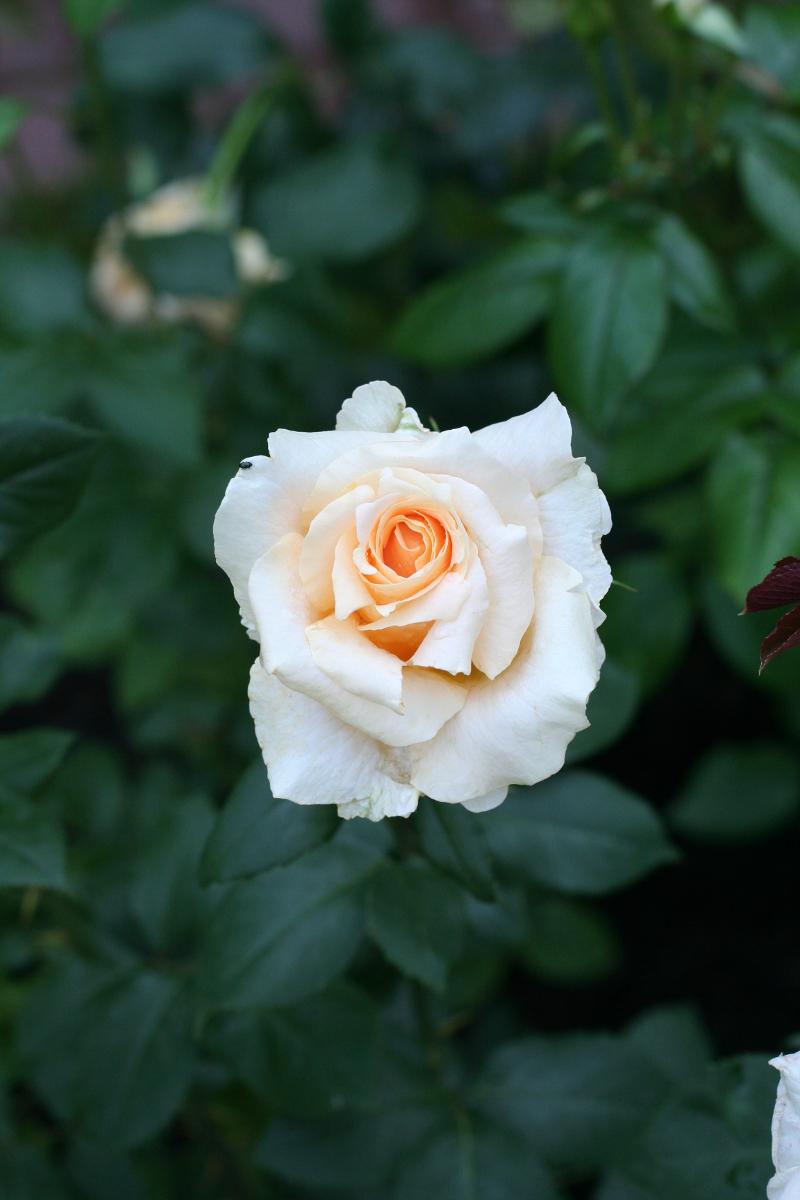 Róża (Rosa) 'Casanova'.